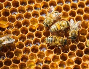 bees-on-honeycells-lg